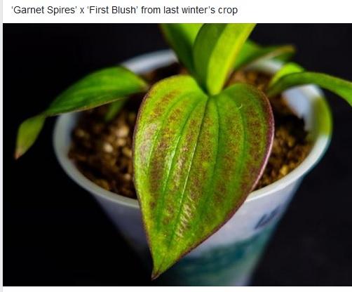 Garnet Spires X First Blush seedling from Jeff White