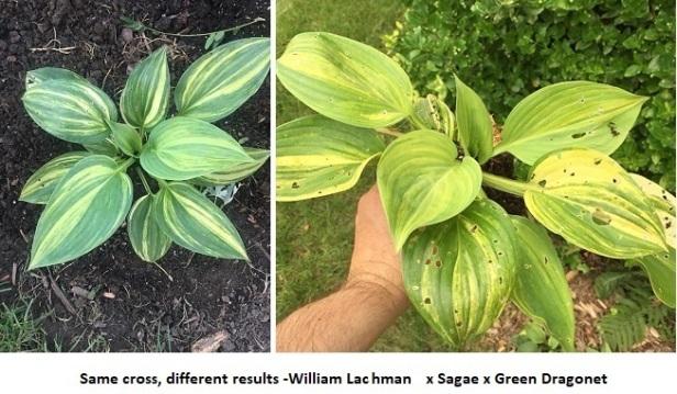 RS-William Lachmann x Sagae x Green Dragonet