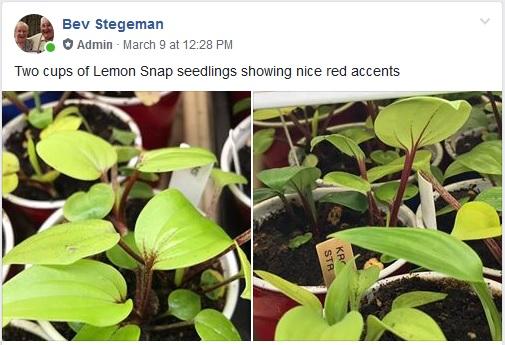 Lemon snap bs